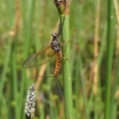 Ephemeroptera sp. (order) (Unidentified Mayfly) at Jacka, ACT - 18 Oct 2020 by HarveyPerkins