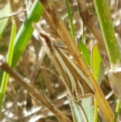 Hednota species near grammellus (Pyralid or snout moth) at Franklin Grassland Reserve - 19 Feb 2021 by tpreston