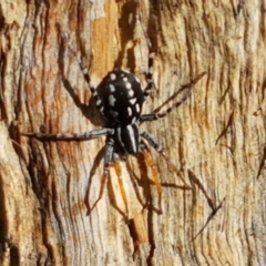 Nyssus coloripes (Spotted Ground Swift Spider) at Franklin Grassland Reserve - 19 Feb 2021 by tpreston