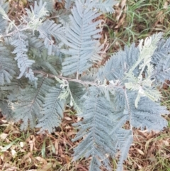 Acacia dealbata (Silver Wattle) at Franklin Grassland Reserve - 19 Feb 2021 by tpreston