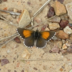 Lucia limbaria (Chequered Copper) at Lawson, ACT - 18 Feb 2021 by Christine