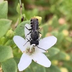 Megachile (Hackeriapis) oblonga at Murrumbateman, NSW - 19 Feb 2021