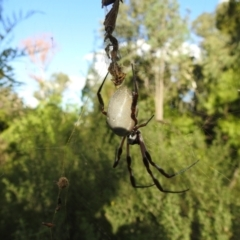 Nephila edulis (Golden orb weaver) at ANBG - 19 Feb 2021 by HelenCross