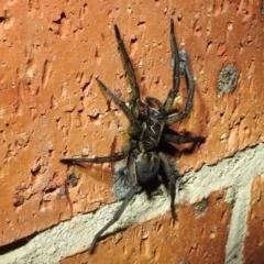 Tasmanicosa sp. (genus) (Unidentified Tasmanicosa wolf spider) at Kambah, ACT - 10 Feb 2021 by HelenCross