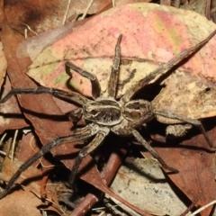 Tasmanicosa sp. (genus) (Unidentified Tasmanicosa wolf spider) at Kambah, ACT - 8 Feb 2021 by HelenCross