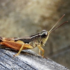 Phaulacridium vittatum (Wingless Grasshopper) at Crooked Corner, NSW - 19 Feb 2021 by Milly