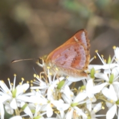 Dispar compacta (Barred skipper) at Mongarlowe River - 15 Feb 2021 by Harrisi