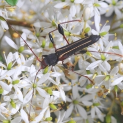 Amphirhoe sloanei (TBC) at Mongarlowe River - 15 Feb 2021 by Harrisi