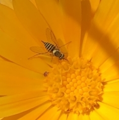 Australiphthiria hilaris (Slender Bee Fly) at Royalla, NSW - 11 Feb 2021 by SusanStone