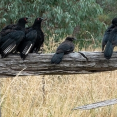Corcorax melanorhamphos (White-winged Chough) at Hackett, ACT - 19 Feb 2021 by sbittinger