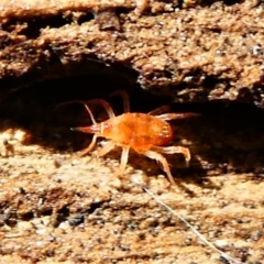 Bdellidae sp. (family) (Unidentified Snout Mite) at Jacka, ACT - 18 Oct 2020 by HarveyPerkins