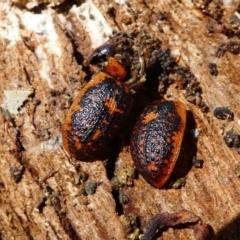 Trachymela sp. (genus) (Brown button beetle) at Forde, ACT - 18 Oct 2020 by HarveyPerkins