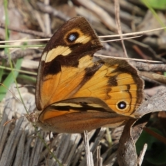 Heteronympha merope (Common Brown) at Mongarlowe River - 19 Feb 2021 by LisaH