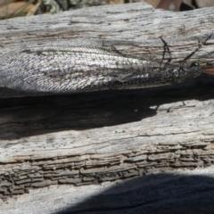 Glenoleon sp. (genus) (TBC) at Forde, ACT - 14 Feb 2021 by HarveyPerkins