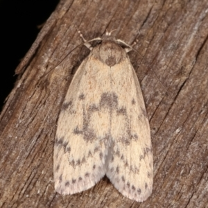 Heliocausta undescribed species at Melba, ACT - 18 Feb 2021