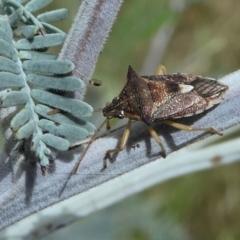 Oechalia schellenbergii (Spined Predatory Shield Bug) at Forde, ACT - 14 Feb 2021 by HarveyPerkins