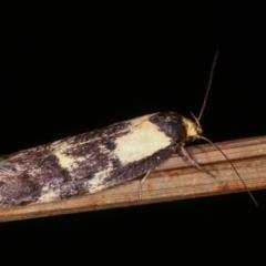 Palimmeces leucopelta at Melba, ACT - 18 Feb 2021