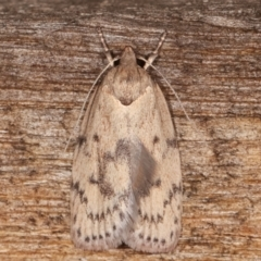 Heliocausta undescribed species (A concealer moth) at Melba, ACT - 18 Feb 2021 by kasiaaus
