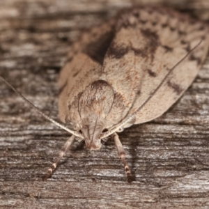 Heliocausta undescribed species at Melba, ACT - 18 Feb 2021