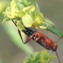 Lissopimpla excelsa (Orchid dupe wasp) at Cotter Reserve - 20 Jan 2021 by michaelb