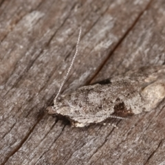 Anarsia molybdota (A Gelechioid moth) at Melba, ACT - 18 Feb 2021 by kasiaaus
