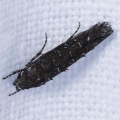 Trachydora capnopa (A Cosmet moth) at Melba, ACT - 18 Feb 2021 by kasiaaus