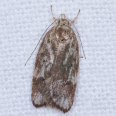 Garrha phoenopis (A Concealer moth) at Melba, ACT - 18 Feb 2021 by kasiaaus