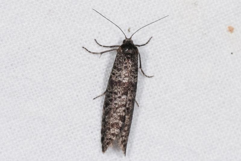 Lepidoscia (genus) at Melba, ACT - 19 Feb 2021