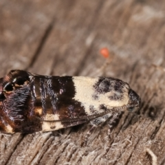 Eupselia aristonica (A Twig Moth) at Melba, ACT - 18 Feb 2021 by kasiaaus