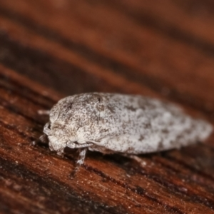 Agriophara undescribed species at Melba, ACT - 19 Feb 2021
