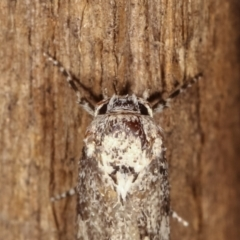 Oecophoridae (family) at Melba, ACT - 19 Feb 2021