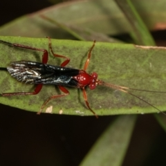 Lissopimpla excelsa (Orchid dupe wasp) at Dunlop, ACT - 19 Feb 2021 by kasiaaus