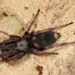 Lampona sp. (genus) (White-tailed spider) at Dunlop, ACT - 19 Feb 2021 by kasiaaus