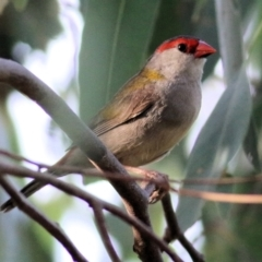Neochmia temporalis (Red-browed Finch) at Wonga Wetlands - 19 Feb 2021 by Kyliegw