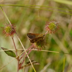 Anisynta dominula (Two-brand grass-skipper) at Mount Clear, ACT - 19 Feb 2021 by DPRees125