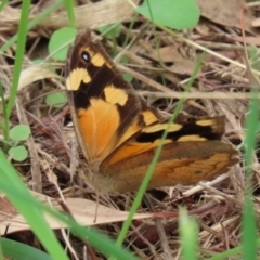 Heteronympha merope (Common Brown) at Jerrabomberra Wetlands - 19 Feb 2021 by RodDeb