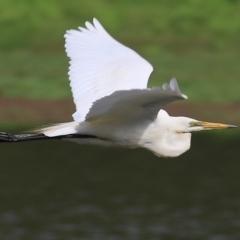 Ardea alba (Great Egret) at Wonga Wetlands - 19 Feb 2021 by Kyliegw