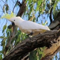 Cacatua galerita (Sulphur-Crested Cockatoo) at Albury - 19 Feb 2021 by Kyliegw