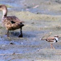 Elseyornis melanops (Black-fronted Dotterel) at Wonga Wetlands - 19 Feb 2021 by Kyliegw