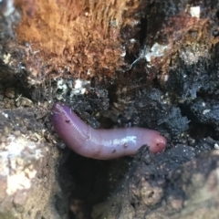 Oligochaeta sp. (class) (Unidentified earthworm) at Acton, ACT - 20 Feb 2021 by Ned_Johnston