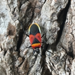 Dindymus versicolor (Harlequin Bug) at Tharwa, ACT - 18 Feb 2021 by Ned_Johnston