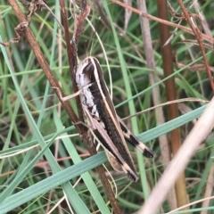 Macrotona australis (Common Macrotona Grasshopper) at Tharwa, ACT - 18 Feb 2021 by Ned_Johnston