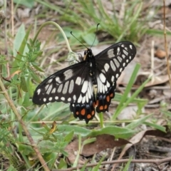 Papilio anactus (Dainty Swallowtail) at Red Hill Nature Reserve - 18 Feb 2021 by JackyF