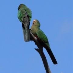 Alisterus scapularis (Australian King-Parrot) at Deakin, ACT - 14 Feb 2021 by JackyF