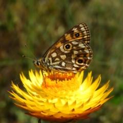 Oreixenica orichora (Spotted Alpine Xenica) at Namadgi National Park - 20 Feb 2021 by MatthewFrawley