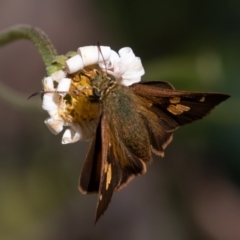 Signeta flammeata (Bright Shield-skipper) at Namadgi National Park - 19 Feb 2021 by rawshorty