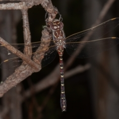 Austroaeschna inermis (Whitewater Darner) at Bimberi Nature Reserve - 20 Feb 2021 by rawshorty