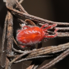 Trombidiidae sp. (family) (Red velvet mite) at ANBG - 19 Feb 2021 by TimL
