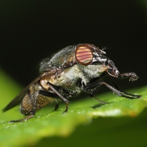 Stomorhina sp. (genus) at Acton, ACT - 19 Feb 2021