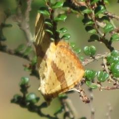 Chrysolarentia polyxantha (Yellow Carpet Moth) at Namadgi National Park - 20 Feb 2021 by Christine